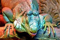 一只普通的鬣鳞蜥或者一只绿色鬣鳞蜥是一只大食草蜥蜴,带领每日木质的生活 免版税库存图片