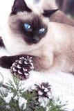 一只暹罗猫的画象在圣诞节土气背景的 口气 图库摄影