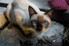 一只暹罗猫 库存图片