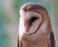 一只有斑点的谷仓猫头鹰 库存图片
