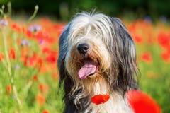 一只有胡子的大牧羊犬的画象在鸦片领域的 免版税库存图片