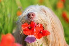 一只有胡子的大牧羊犬的画象在鸦片领域的 库存照片
