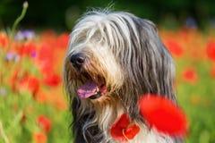 一只有胡子的大牧羊犬的画象在鸦片领域的 免版税库存照片