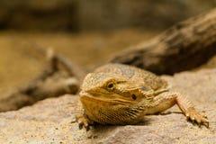 一只有胡子的蜥蜴的纵向。 免版税库存照片