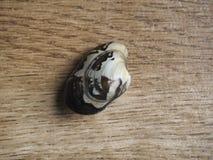 一只未加工的蛤蜊 图库摄影