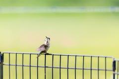 一只未成熟的公红宝石红喉刺莺的蜂鸟在篱芭栖息 免版税库存照片