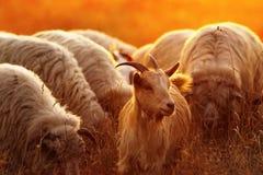 一只本国山羊的画象 免版税库存图片