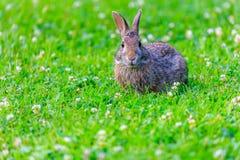 一只机敏的棉尾巴兔子 免版税图库摄影
