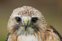 一只机敏的Saker猎鹰 免版税库存照片