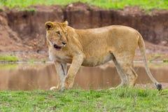 一只机警的雌狮 免版税库存图片