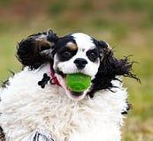 一只杂色的猎犬的特写镜头 免版税库存图片