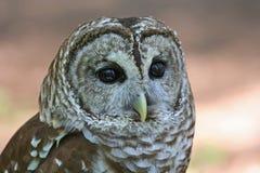 一只条纹猫头鹰猛禽的特写镜头 免版税库存图片