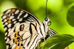 一只松弛棕色蝴蝶的宏指令 免版税库存照片
