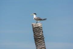 一只极大的有顶饰燕鸥 免版税库存图片