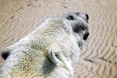 一只极性白熊在沙漠 气候变化的未来可能的作用 库存图片