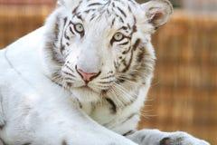一只柔和的白色老虎的画象 豹属底格里斯河底格里斯河 免版税库存图片