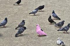 一只桃红色鸽子产生变化 图库摄影