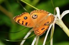 一只桔黄色蝴蝶的特写镜头 库存图片