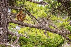 一只棕色东部花栗鼠在阿科底亚国家公园,缅因 免版税库存图片