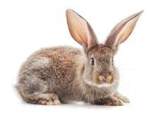 一只棕色兔子 免版税库存图片