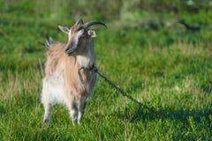 一只棕色山羊在皮带的一个绿色草甸 库存照片