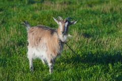 一只棕色山羊在皮带的一个绿色草甸 库存图片