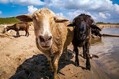 一只棕色山羊神色的特写镜头 免版税图库摄影