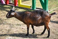 一只棕色山羊 免版税库存照片