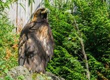 一只棕色干草原老鹰,被危及的一只大鸷的特写镜头 图库摄影