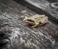 一只棕色森林青蛙坐木表面 背景青蛙草蛙属temporaria白色 图库摄影
