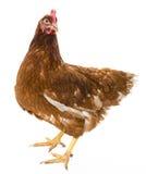 一只棕色母鸡 免版税库存照片