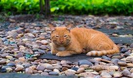 一只棕色泰国猫 库存照片