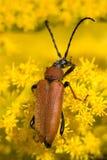 一只棕色甲虫的特写镜头在黄色花床上的  免版税库存图片