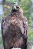 一只棕色老鹰 图库摄影