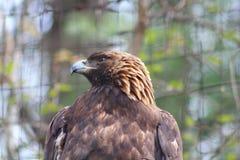 一只棕色老鹰 免版税库存图片