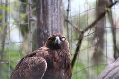 一只棕色老鹰 免版税库存照片
