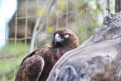 一只棕色老鹰 库存图片