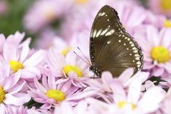 一只棕色蝴蝶的特写镜头坐桃红色花 库存图片