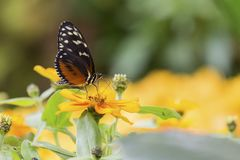 一只棕色蝴蝶的特写镜头坐橙色花 库存照片