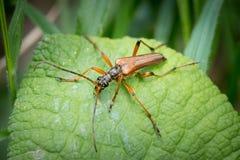 一只棕色长角牛甲虫坐一片绿色叶子 免版税图库摄影