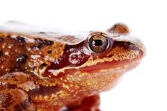 一只棕色青蛙的画象。 库存图片