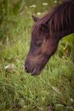 一只棕色驹吃草 免版税库存照片