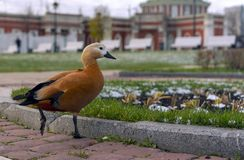 一只棕色鸭子在城市公园走 图库摄影