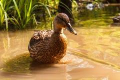 一只棕色鸭子在河游泳 库存照片