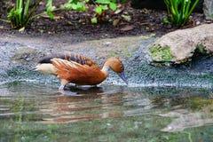 一只棕色鸭子是饮用水 免版税图库摄影