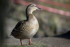 一只棕色鸭子的画象狂放在池塘的岸 库存图片