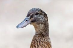 一只棕色鸭子的纵向 免版税库存照片