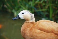 一只棕色鸭子的纵向 免版税库存图片