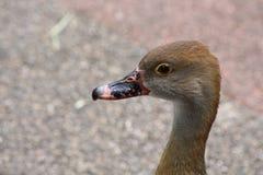 一只棕色鸭子 免版税库存图片