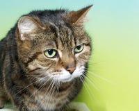 一只棕色黑白虎斑猫的画象与嫉妒的 免版税库存照片